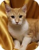 Domestic Shorthair Kitten for adoption in Alexandria, Virginia - Autumn