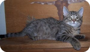Domestic Shorthair Kitten for adoption in Colorado Springs, Colorado - K-Lillian12-Rupert