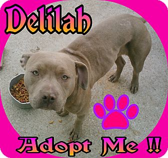 American Staffordshire Terrier Dog for adoption in Lexington, Missouri - Delilah