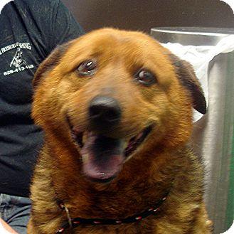 Australian Shepherd/Chow Chow Mix Dog for adoption in Manassas, Virginia - West