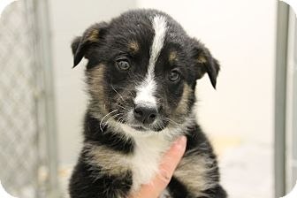 Border Collie Mix Puppy for adoption in Hibbing, Minnesota - Vroom