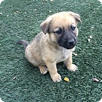 Adopt A Pet :: Chase - Tustin, CA