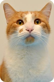 Domestic Shorthair Cat for adoption in Chicago, Illinois - Morris