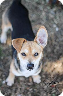 Dachshund/Beagle Mix Dog for adoption in Arlington, Texas - KK