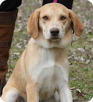 Labrador Retriever Mix Puppy for adoption in Stamford, Connecticut - GULIANA - fostered in CT