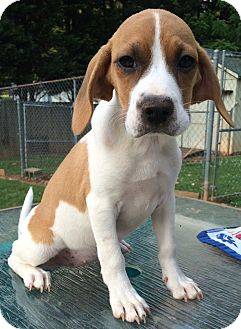 Hound (Unknown Type) Mix Puppy for adoption in North Brunswick, New Jersey - Daisy