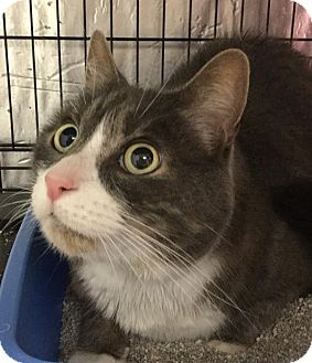 Domestic Shorthair Cat for adoption in Webster, Massachusetts - Dutch