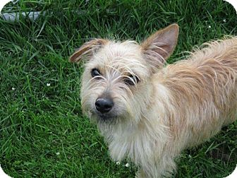 Cairn Terrier Mix Puppy for adoption in Liberty Center, Ohio - Tootie