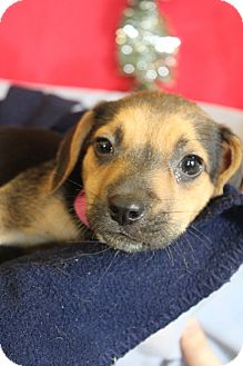 Beagle/Terrier (Unknown Type, Medium) Mix Puppy for adoption in Waldorf, Maryland - April