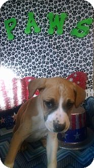 Boxer Mix Puppy for adoption in Forest Hill, Maryland - Champagne