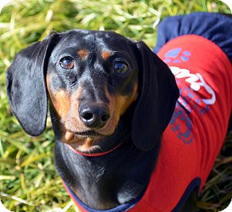 Dachshund Dog for adoption in Bridgeton, Missouri - Lucy-Adoption pending