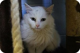 Domestic Longhair Cat for adoption in New Milford, Connecticut - Spirit