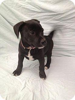 Pomeranian/Boston Terrier Mix Puppy for adoption in House Springs, Missouri - Mena