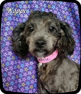 Poodle (Miniature) Mix Dog for adoption in Ahoskie, North Carolina - Kappi