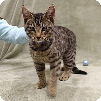 Domestic Shorthair Cat for adoption in McCormick, South Carolina - Tony