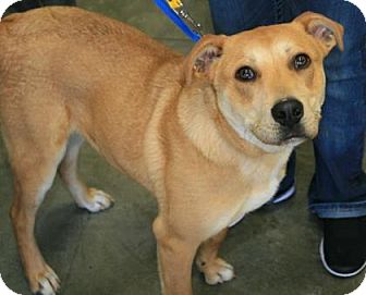 Labrador Retriever Mix Dog for adoption in Doylestown, Pennsylvania - Chester