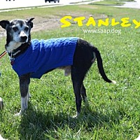Boston Terrier/Chihuahua Mix Dog for adoption in Newport, Kentucky - Stanley