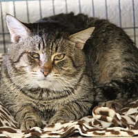 Adopt A Pet :: Odin (Neutered) - Marietta, OH