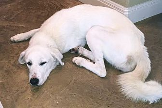 Great Pyrenees Mix Dog for adoption in Kyle, Texas - Lilly