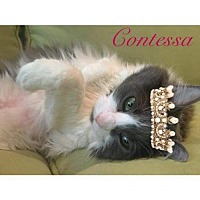 Adopt A Pet :: Contessa - Garland, TX