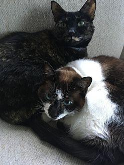 Snowshoe Cat for adoption in Seattle, Washington - Zelda & Leia