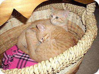 Domestic Shorthair Kitten for adoption in Guthrie, Oklahoma - Tuna & Sunni-Kittens