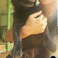 Adopt A Pet :: Lily - Oakton, VA