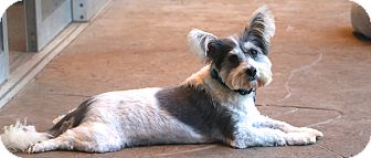 Skye Terrier/Maltese Mix Dog for adoption in Norwalk, Connecticut - Billy