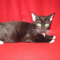 Domestic Shorthair/Domestic Shorthair Mix Cat for adoption in Houston, Texas - MCGEE