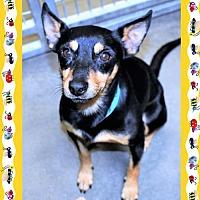 Adopt A Pet :: MinPin male X - San Jacinto, CA