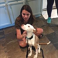 Adopt A Pet :: NINO - Brattleboro, VT