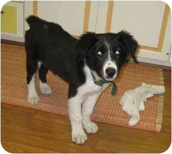 Border Collie Mix Puppy for adoption in Columbus, Nebraska - Ryder