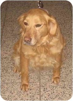 Golden Retriever Dog for adoption in Cleveland, Ohio - Laurie