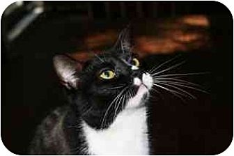 Domestic Shorthair Cat for adoption in Orlando, Florida - Spice