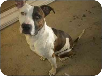 American Pit Bull Terrier/Boxer Mix Dog for adoption in Los Angeles, California - Roy