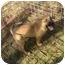 Photo 3 - Boxer Mix Puppy for adoption in Fulton, Missouri - Sandy