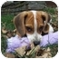 Photo 2 - Beagle Puppy for adoption in Taylor Mill, Kentucky - Jake