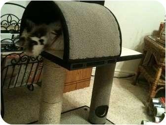 Calico Cat for adoption in Washington Terrace, Utah - Mina