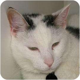 Domestic Shorthair Cat for adoption in Austin, Texas - Faith
