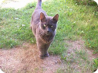 Polydactyl/Hemingway Cat for adoption in Aylesford, Nova Scotia - Ceridwen