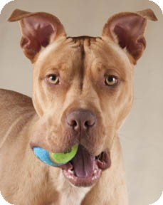 American Pit Bull Terrier/American Staffordshire Terrier Mix Dog for adoption in Chicago, Illinois - Brad Pit