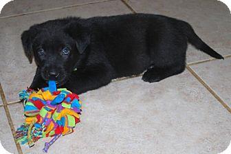 Labrador Retriever/German Shepherd Dog Mix Puppy for adoption in Minneola, Florida - Diesel