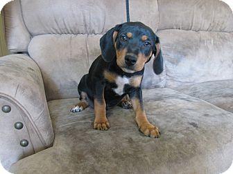 Feist/Hound (Unknown Type) Mix Puppy for adoption in Hartford, Connecticut - Peanut