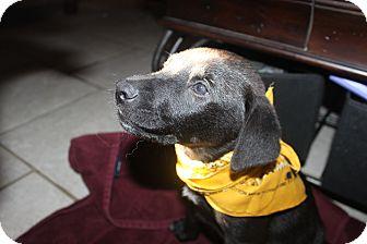 Labrador Retriever Mix Puppy for adoption in Tampa, Florida - Corey