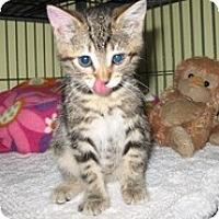 Adopt A Pet :: Kaylee - Shelton, WA