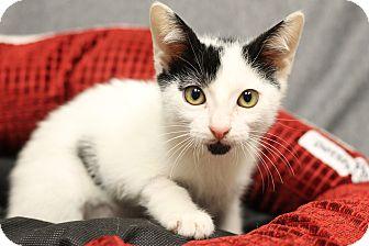 Domestic Shorthair Kitten for adoption in Covington, Louisiana - Steele