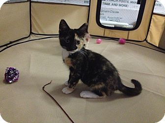 Domestic Shorthair Kitten for adoption in Waldorf, Maryland - Lulu