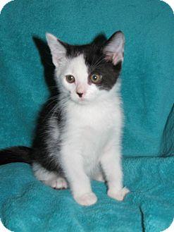 Domestic Shorthair Kitten for adoption in Huntsville, Alabama - Groot