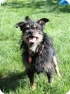 Wirehaired Fox Terrier/Yorkie, Yorkshire Terrier Mix Dog for adoption in Eugene, Oregon - Archie