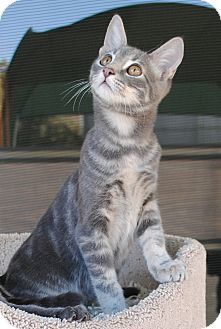 Domestic Shorthair Kitten for adoption in Palmdale, California - Baxter